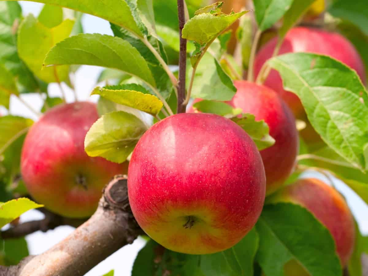 yes, you can grow apples in the house