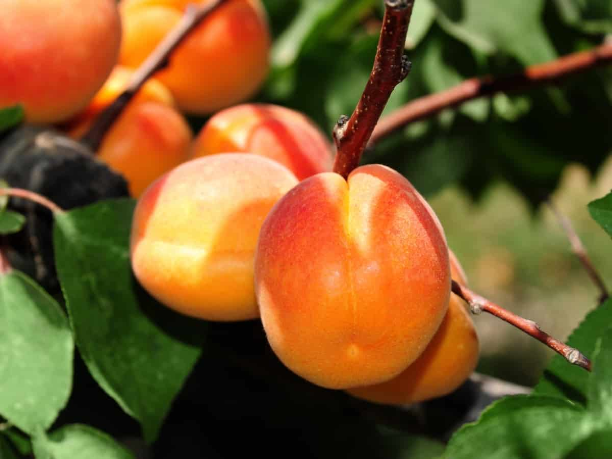 apricots are the perfect indoor fruit tree as many varieties are self-pollinating