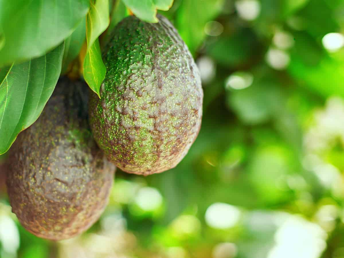 the avocado tree will liven up your home
