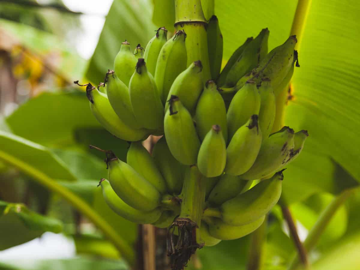 the banana tree needs a large pot for its extensive root system