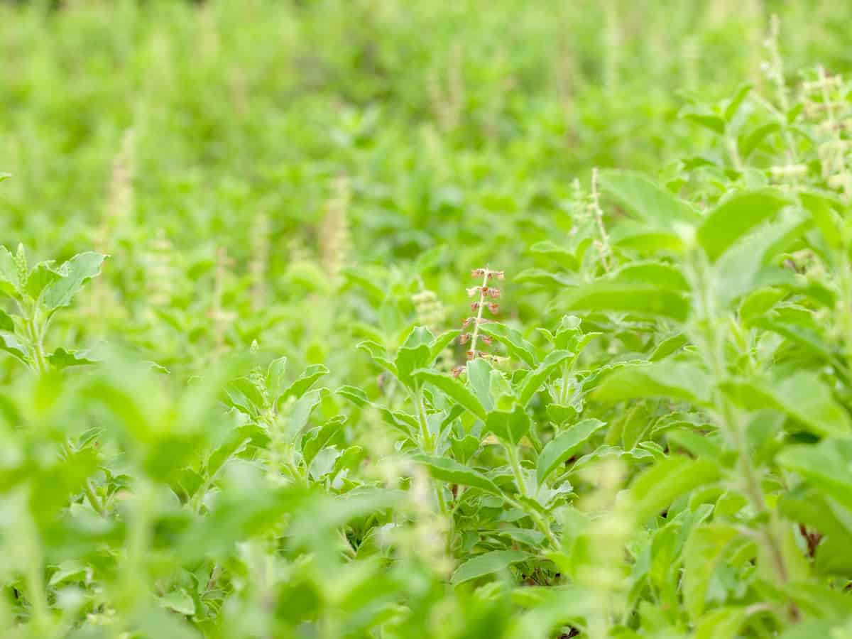 basil is probably the best known perennial herb
