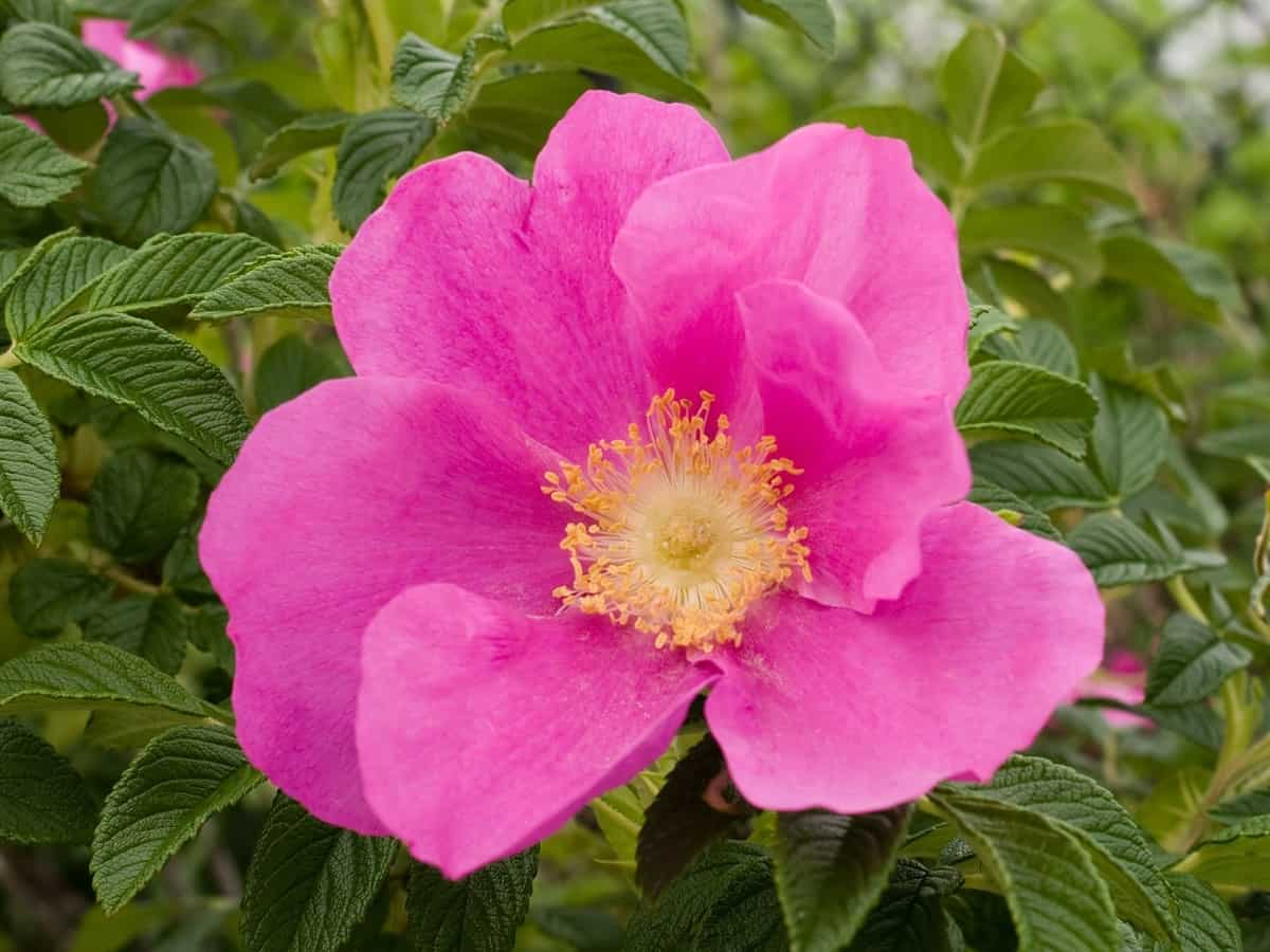 the beach rose will spruce up your coastal garden