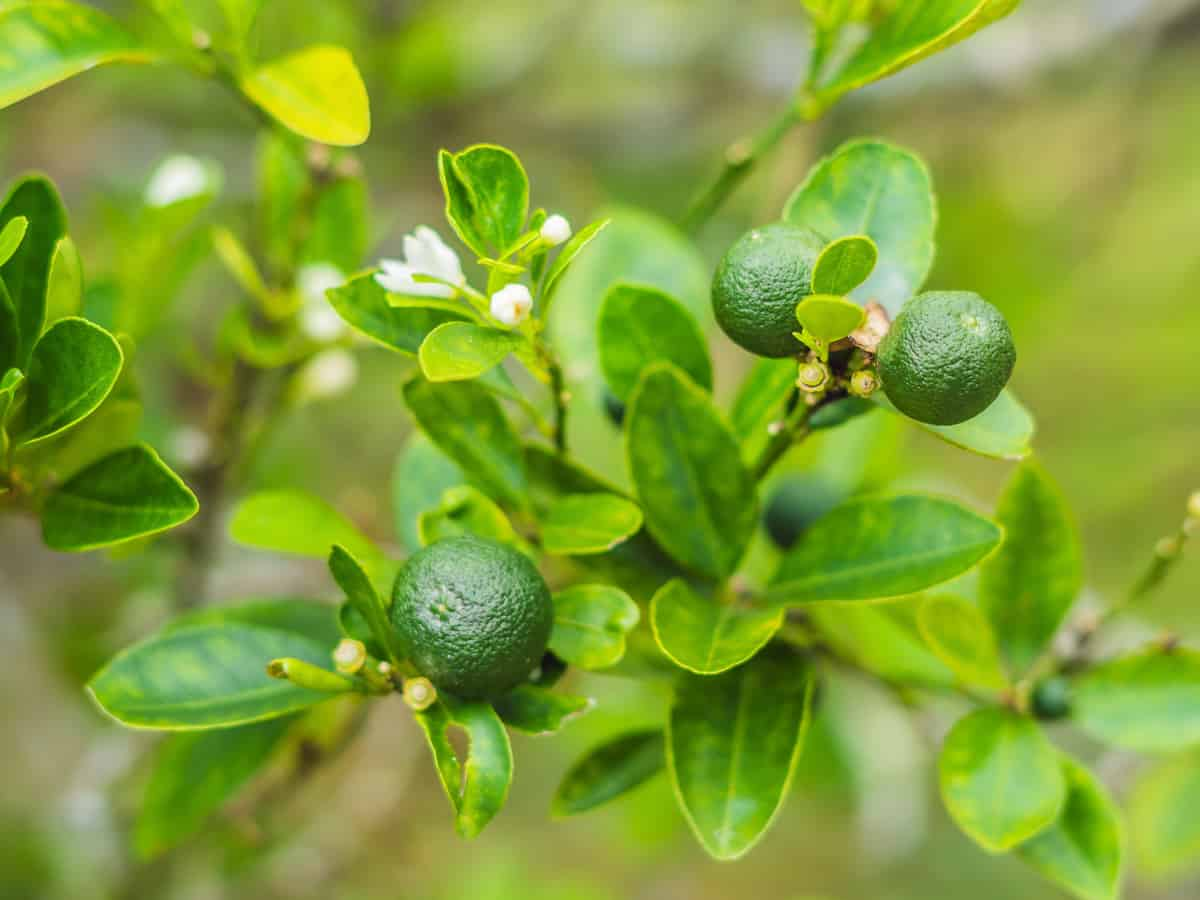 the Bearss lime is a semi-dwarf tree that makes a big impact in the garden