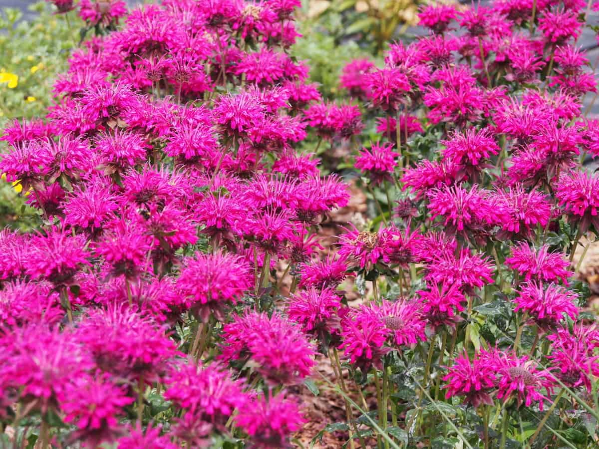 bee balm is a perennial herb that attracts pollinators
