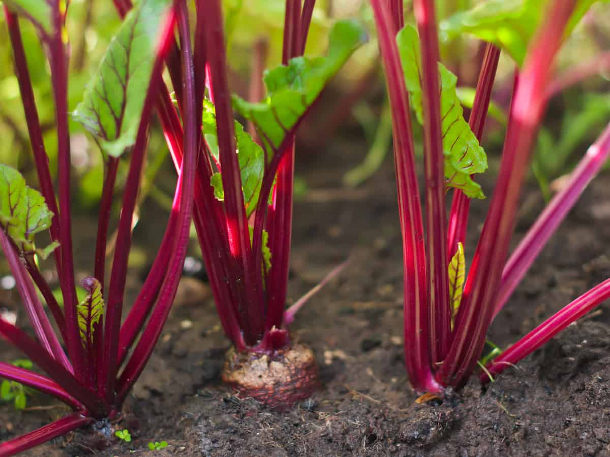 harvest beets year round indoors