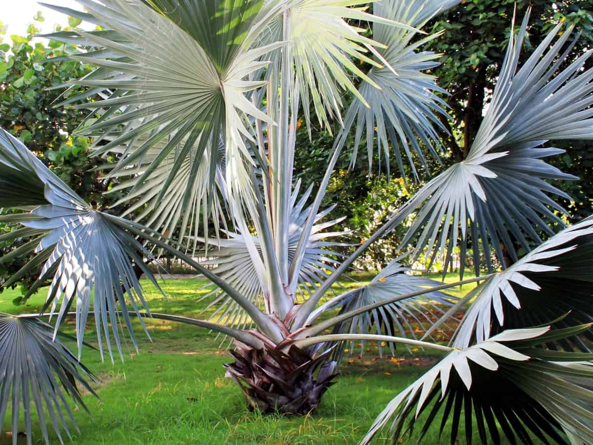 Bismarck palm has attractive blue fan leaves