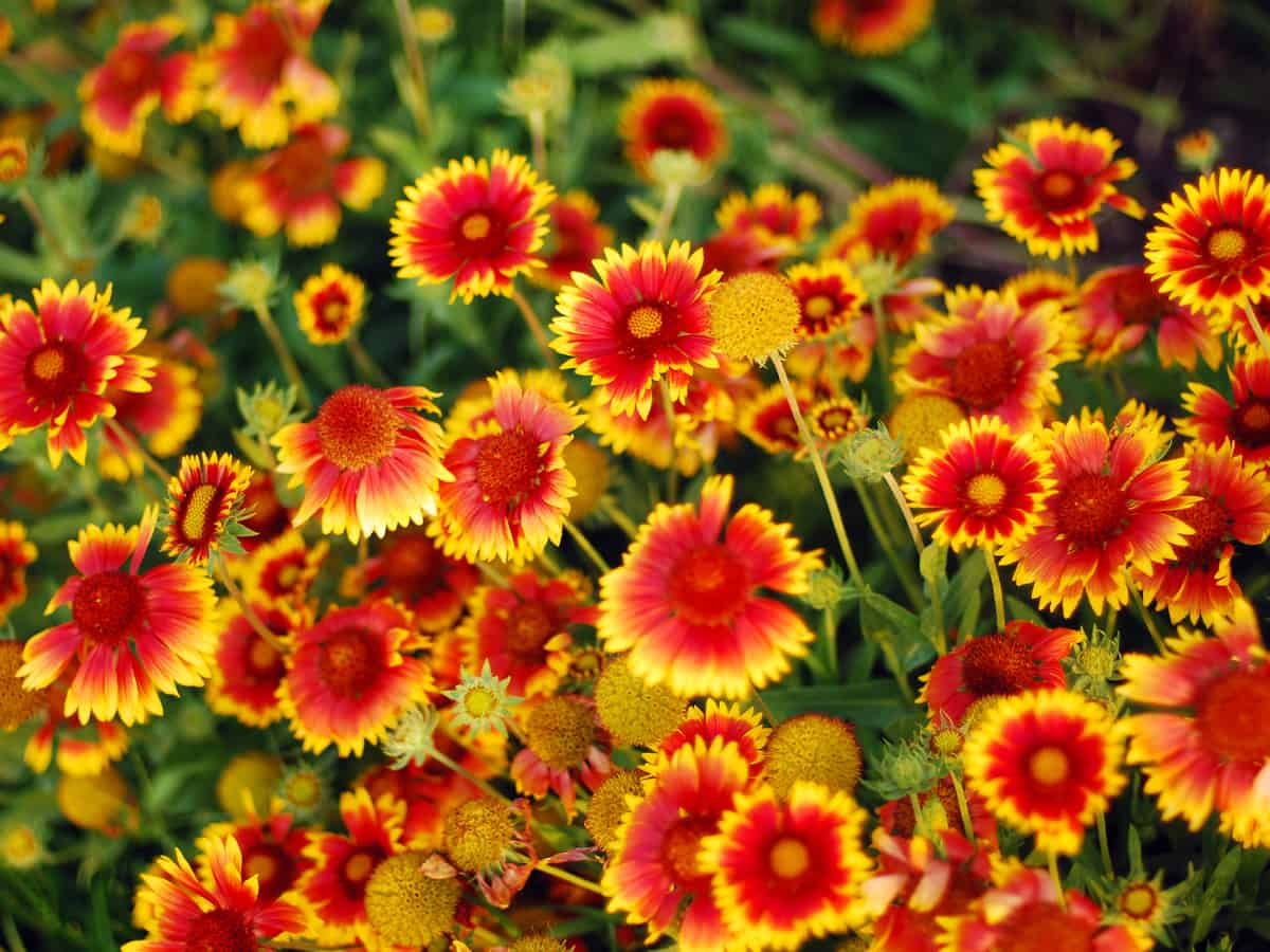 the blanket flower is super easy-to-care for
