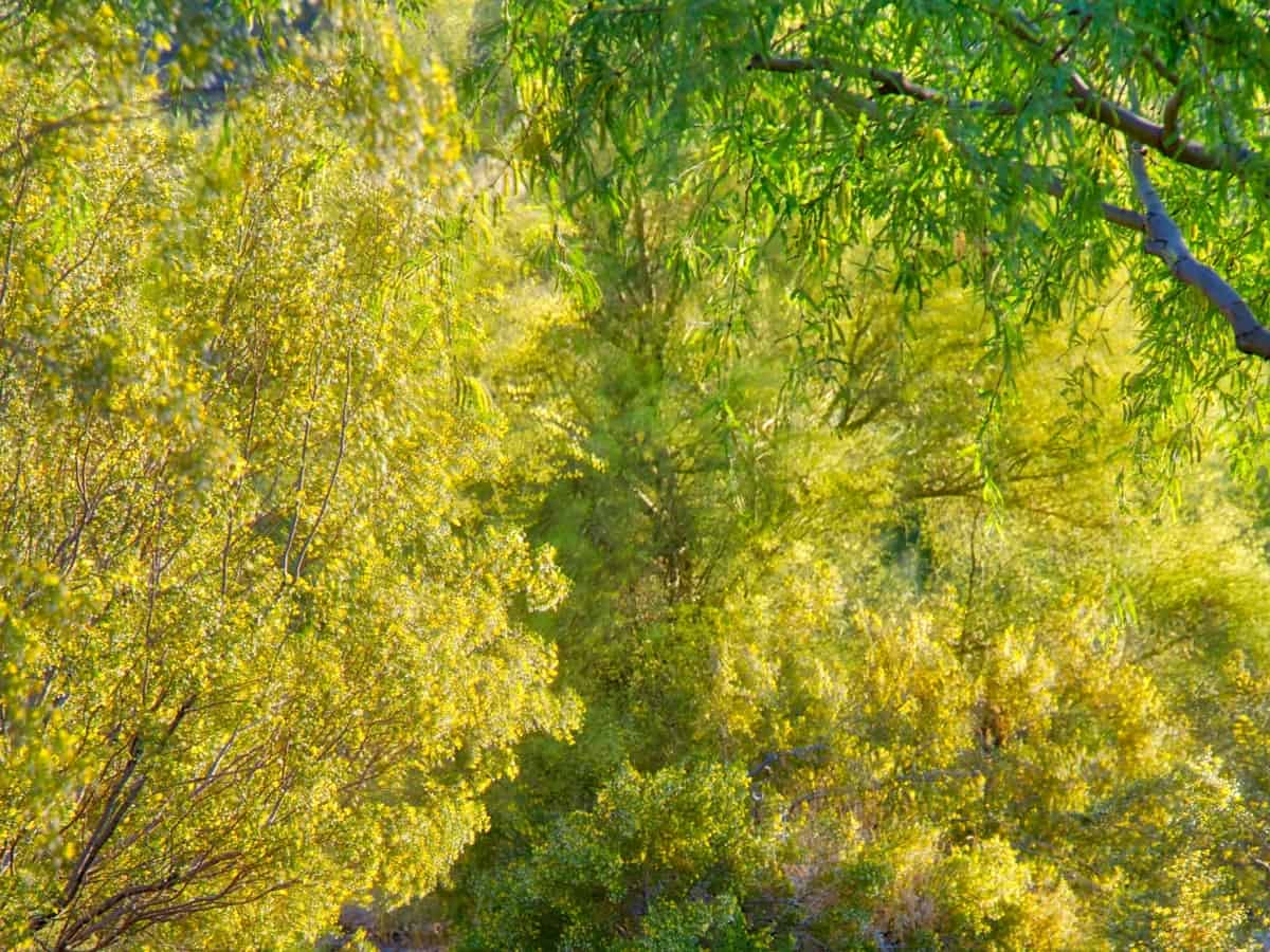 blue palo verde is the perfect desert tree