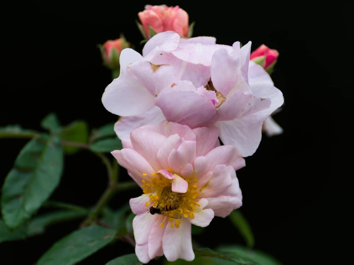 blush roses will spruce up your garden, as they are beautiful and thornless