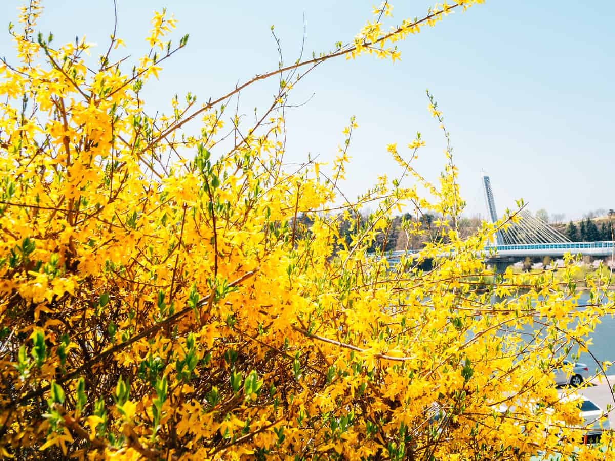 border forsythia has spectacular yellow blooms from late winter to early spring