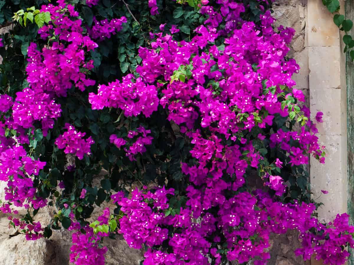 bougainvillea is a low maintenance flowering shrub