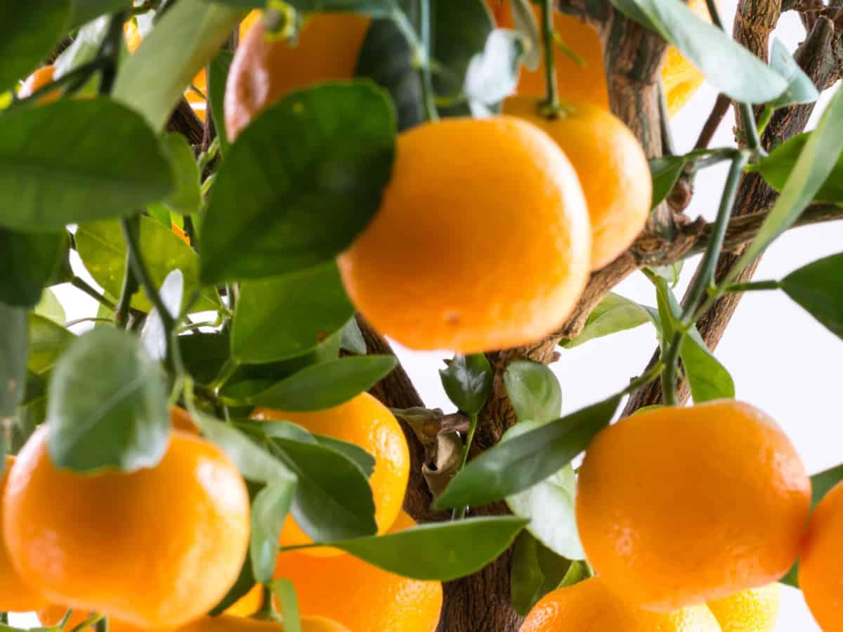 the Calamondin orange is a fast-growing, low-maintenance small tree