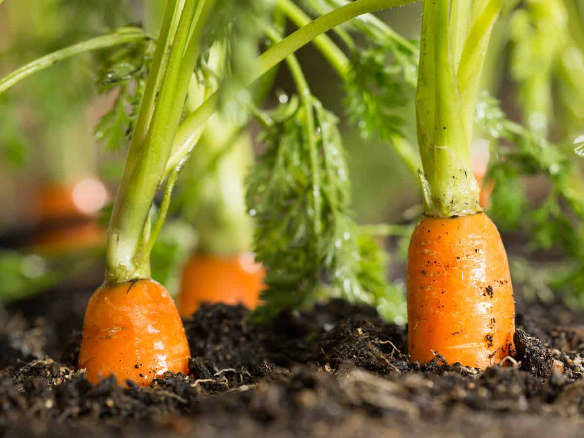 carrots are easy to grow indoors if you have a deep enough container