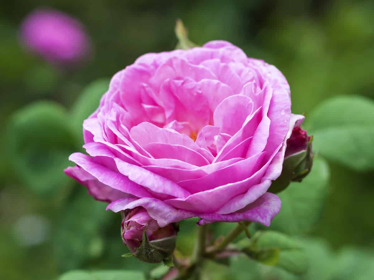 the centifolia rose is also called the cabbage rose