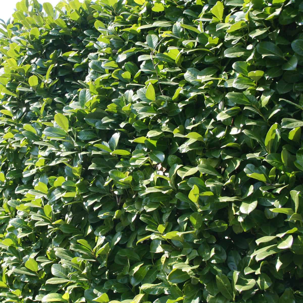 the cherry laurel offers a beautiful formal hedge