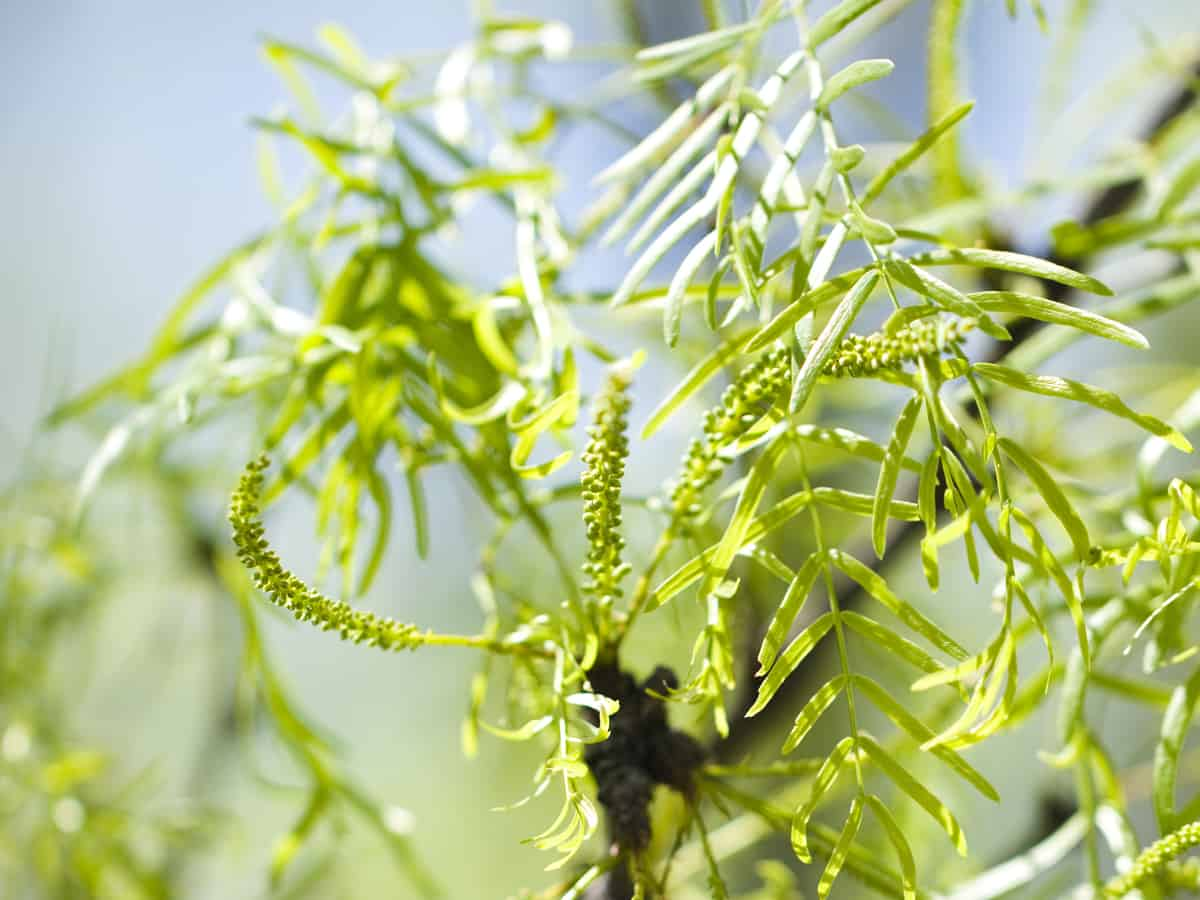 Chilean mesquite has drooping branches