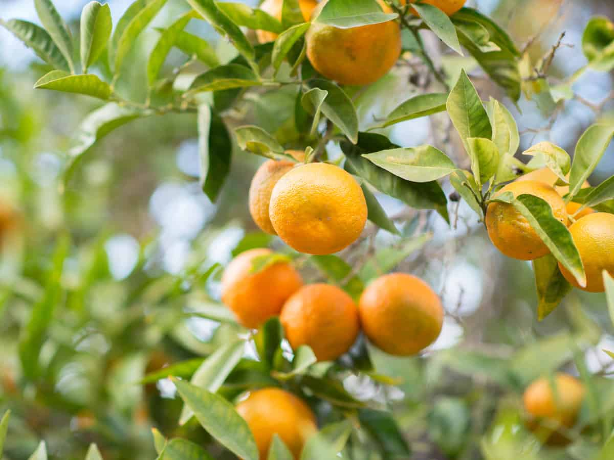 the clementine is a dwarf fruit tree