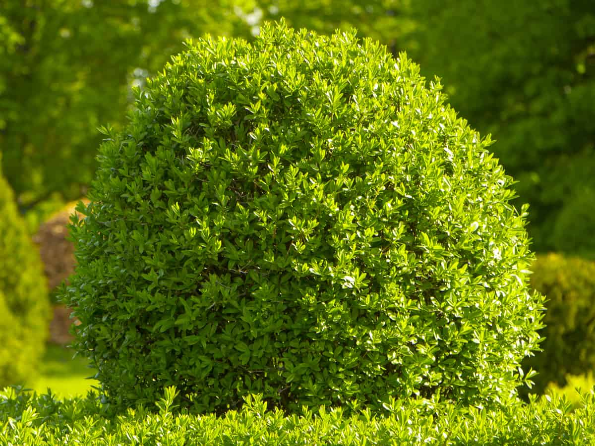 common boxwood makes a lovely hedge plant