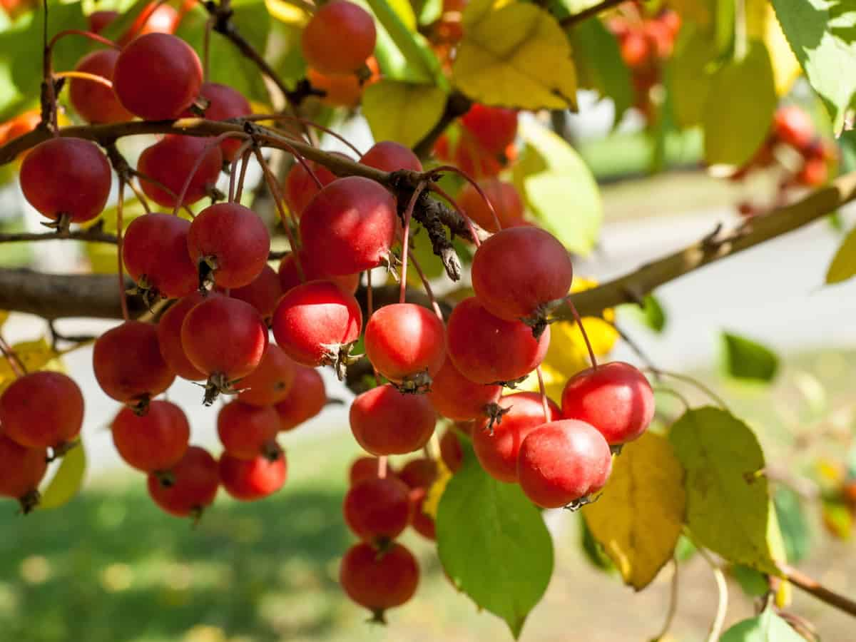 the crabapple - a small tree with year-round color