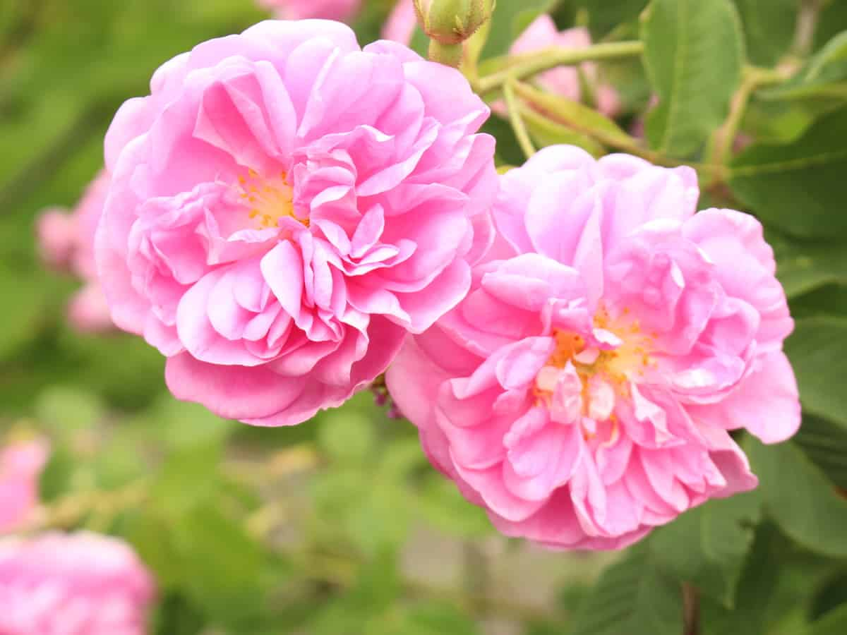 the damask rose comes in many different varieties and colors