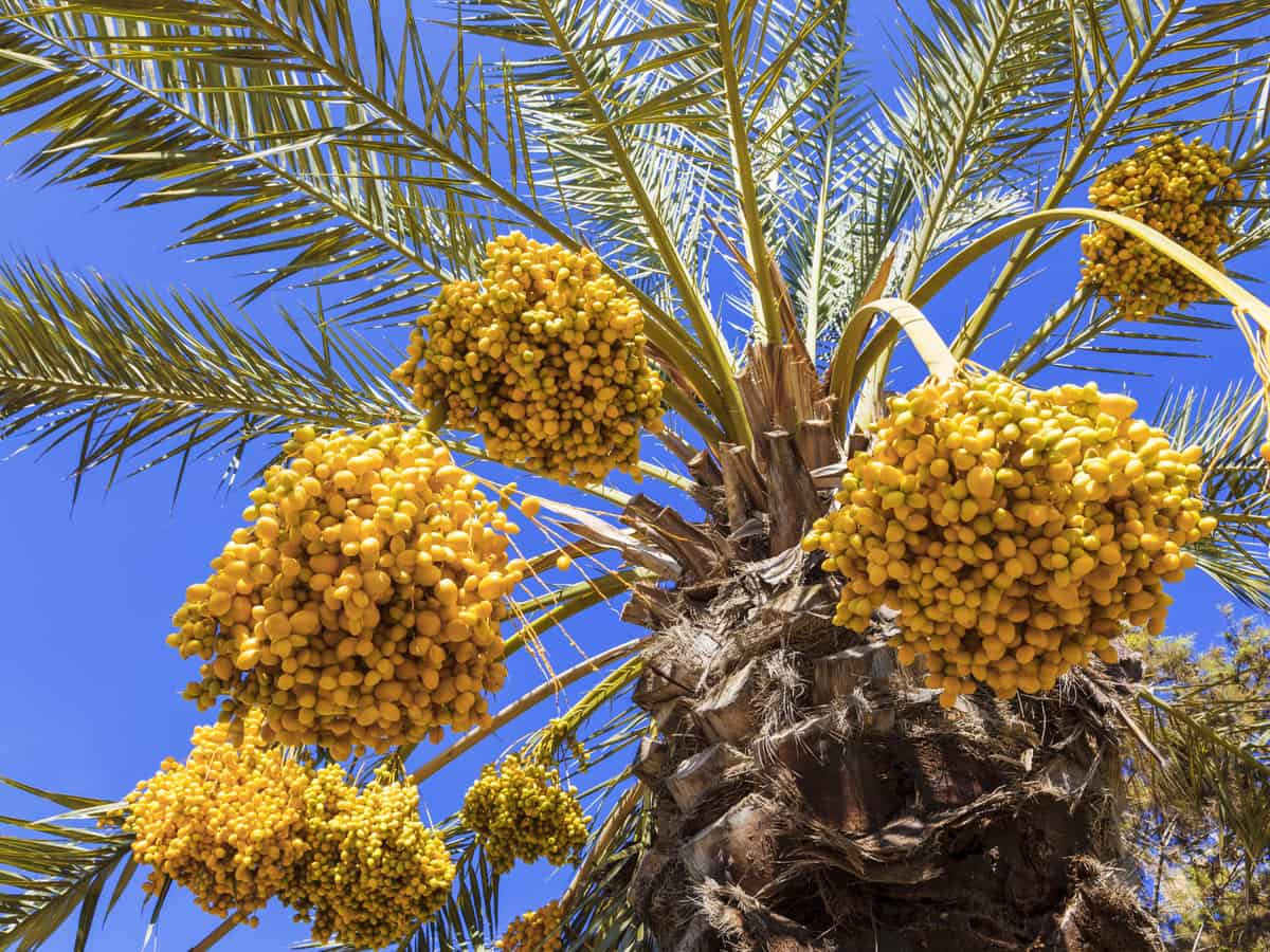 date palm - the desert tree that gives you fruit