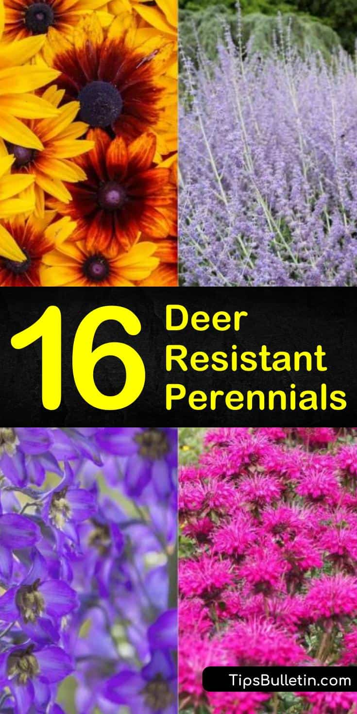 Come and learn how to create a deer resistant perennial garden in your front yard. Deer resistant perennial plants are more than just ornamental grasses. They include drought-tolerant plants and flower garden plants you will love. #repellentplants #plants #deer #resistant #perennials
