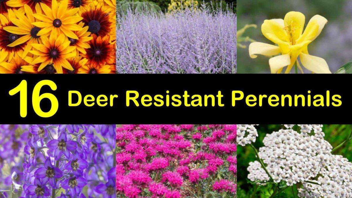 16 Deer Resistant Perennials That Won T Be On The Wildlife Menu