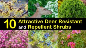 deer resistant shrubs titleimg1