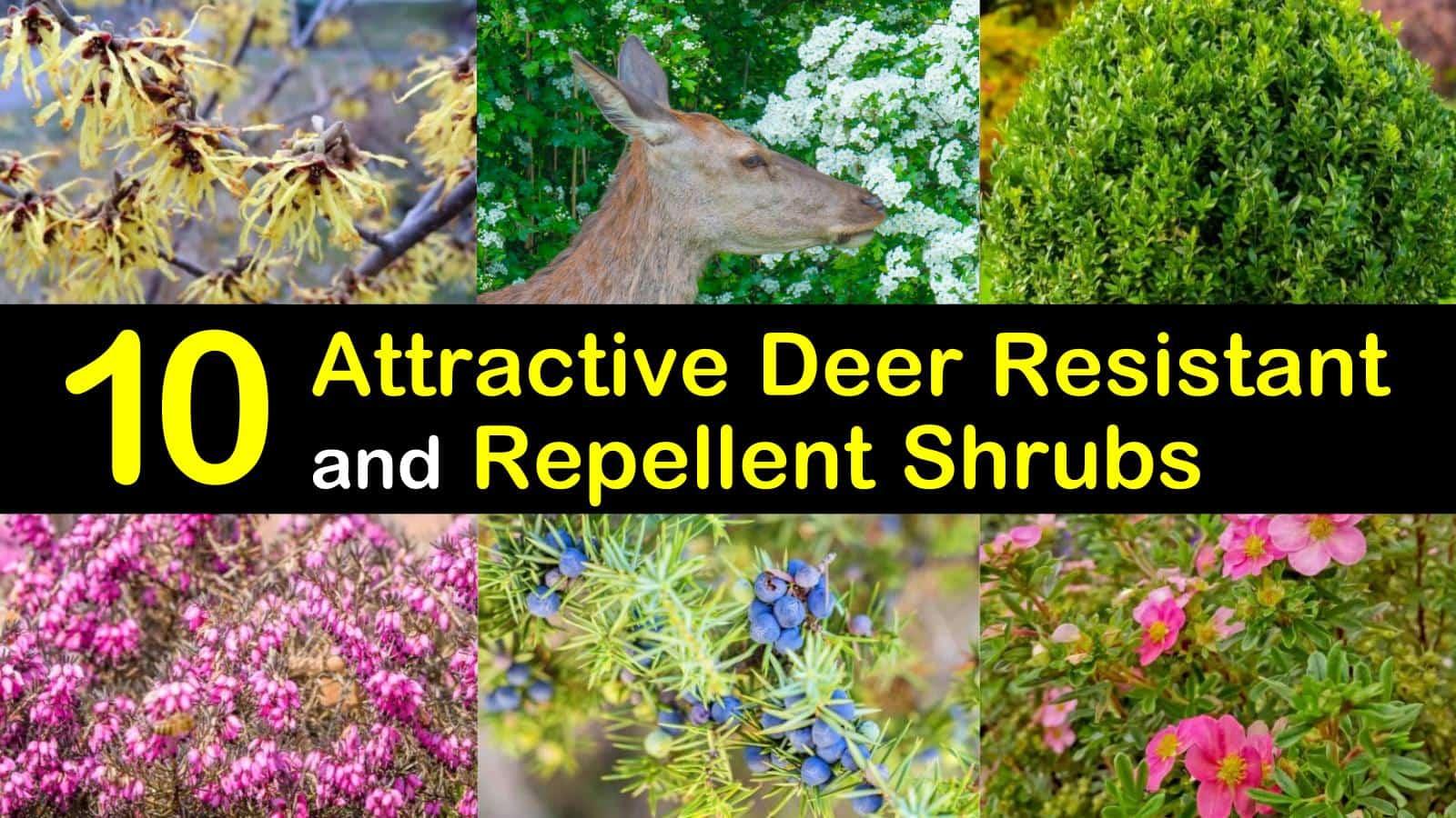 deer resistant shrubs titleimg1