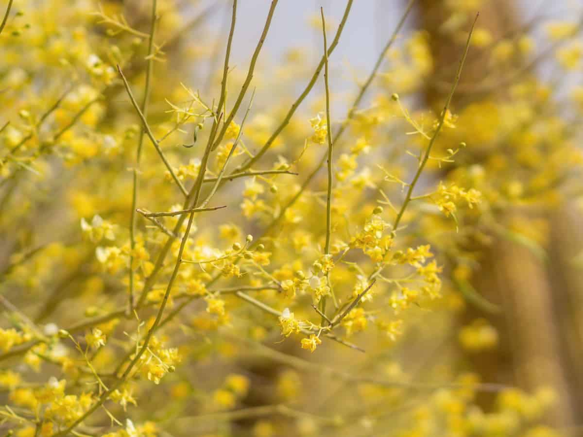 the Desert Museum palo verde has brilliant yellow flowers in spring