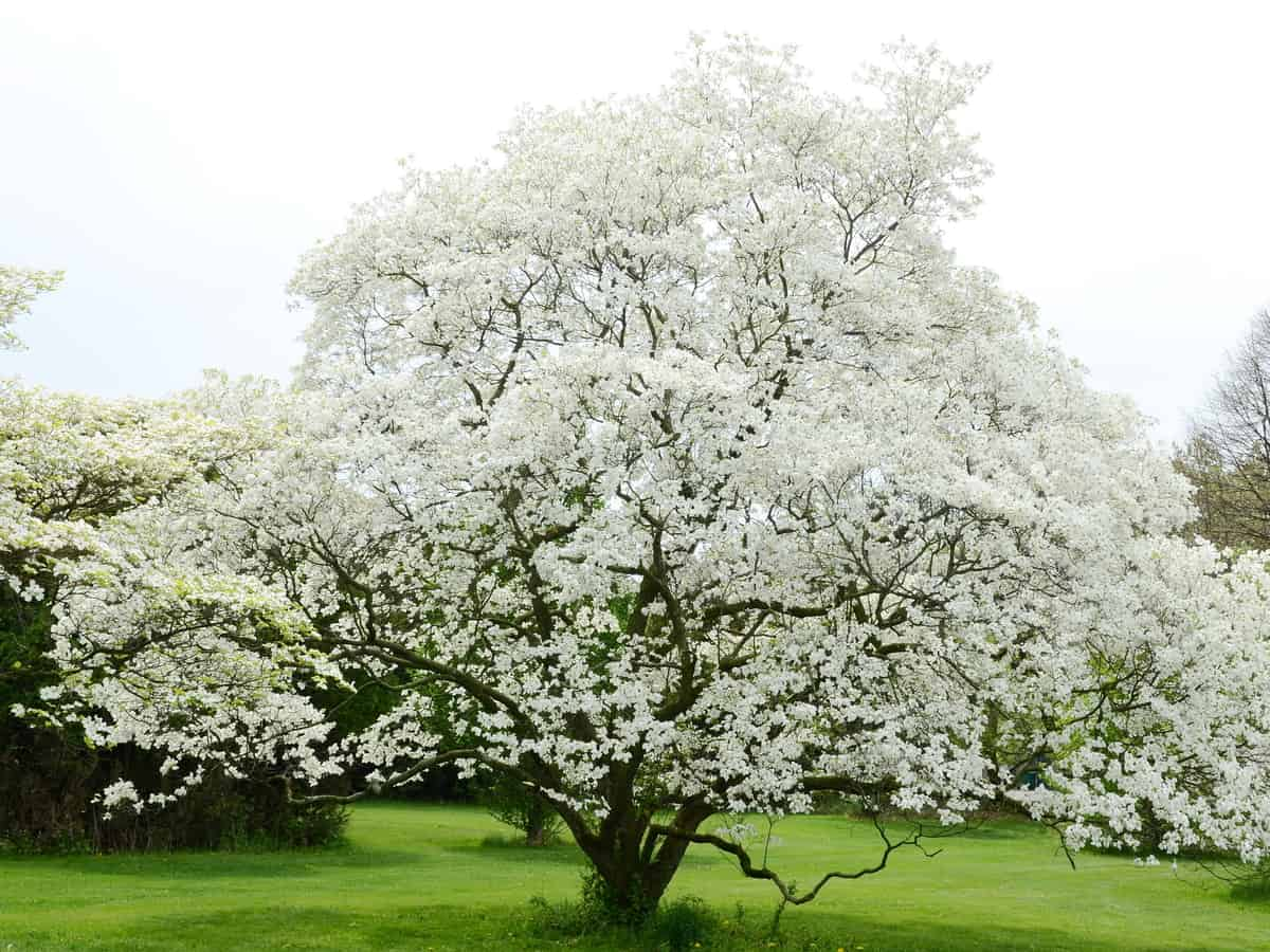 the dogwood is a fast grower for a shady part of your yard