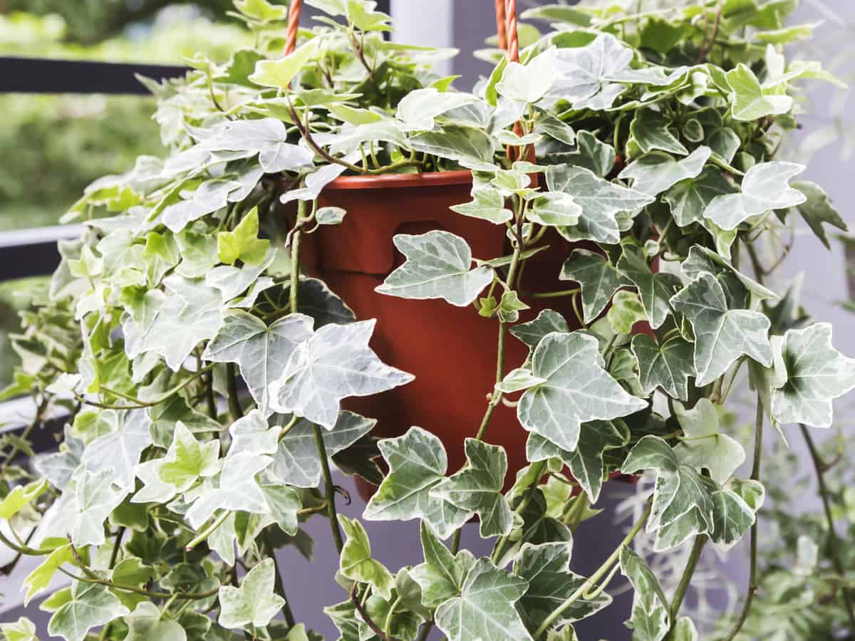 English ivy is a great hanging plant for the office
