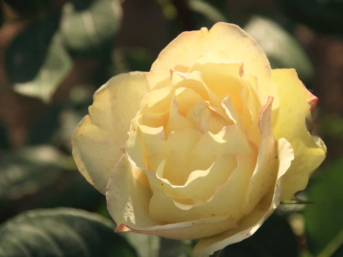 English roses will definitely spruce up your garden