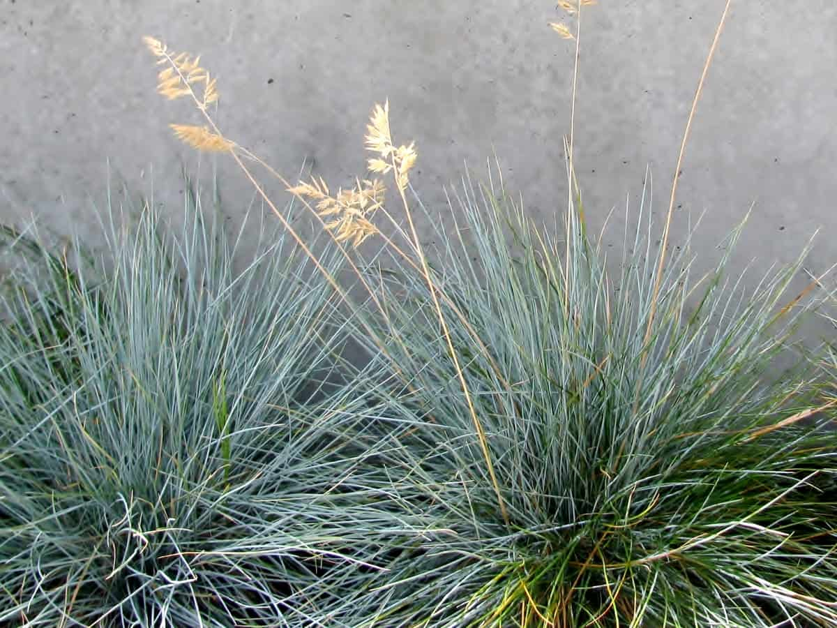 fescue comes in many colors, textures, and sizes