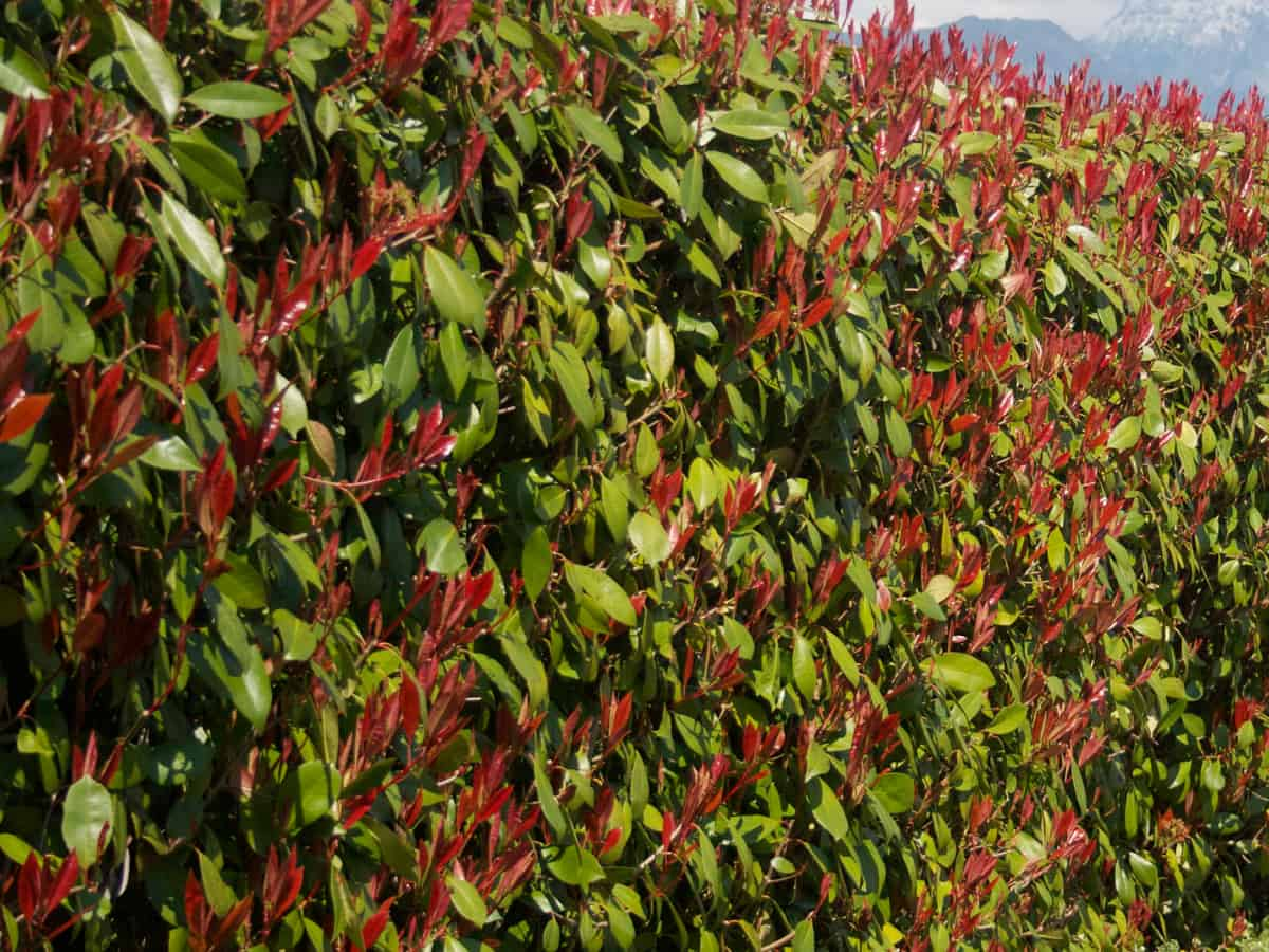 fraser photinia offers an evergreen screen for your yard