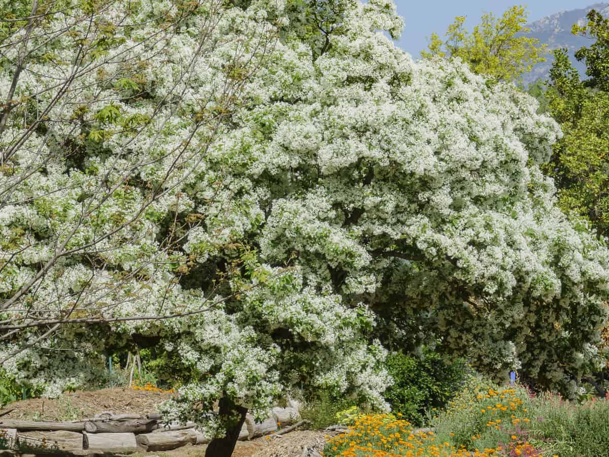 the fringe tree is perfect for small garden spaces