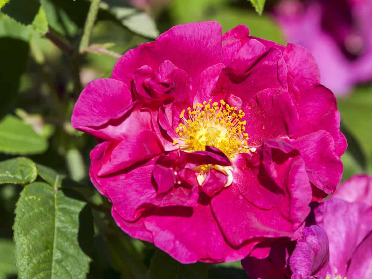gallica rose is also known as the French rose