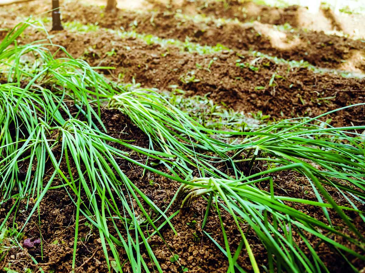 garlic chives should be a part of your edible garden