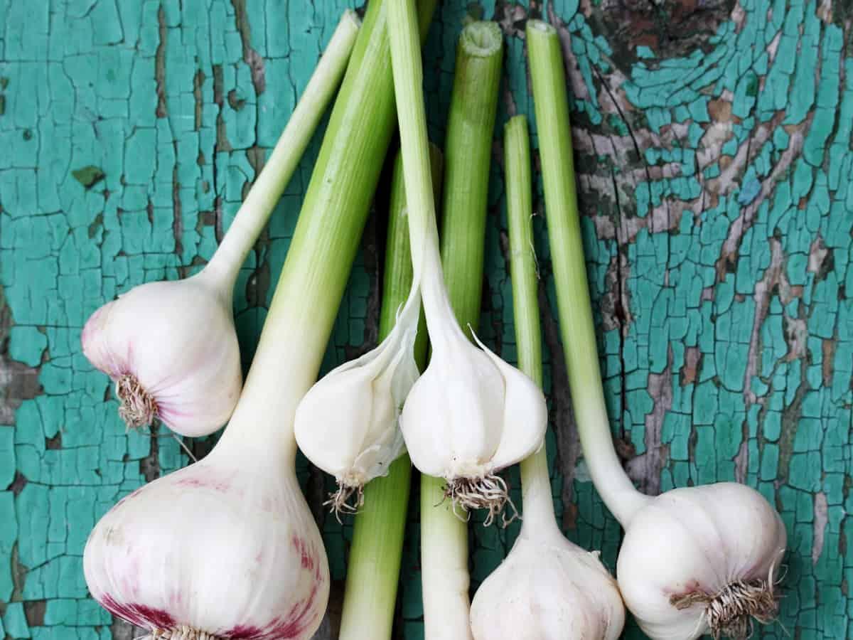 you can grow garlic greens inside