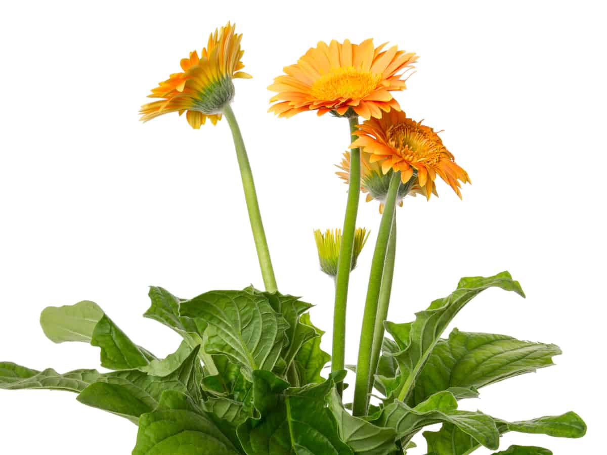 gerber daisy is a shade-loving plant ideal for the office