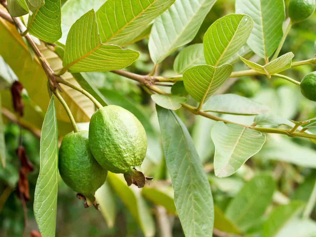 growing guava indoors is easy because it's low maintenance