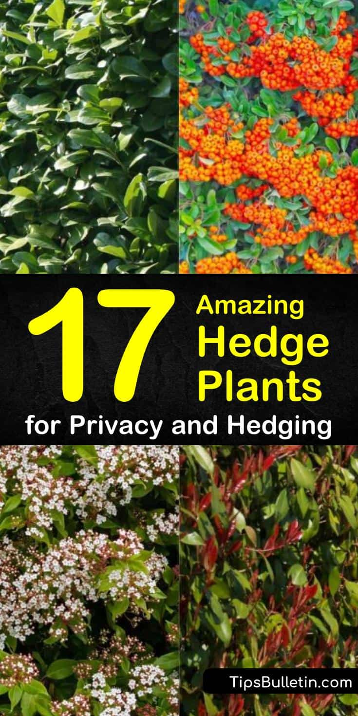 Discover the best hedge plants for your back yard with this guide to planting privacy screens. With flowering shrubs and evergreen trees, this list has all the inspiration you need to making your landscaping ideas a reality. #hedgeplants #privacy #hedges #gardening