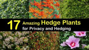 hedge plants titleimg1