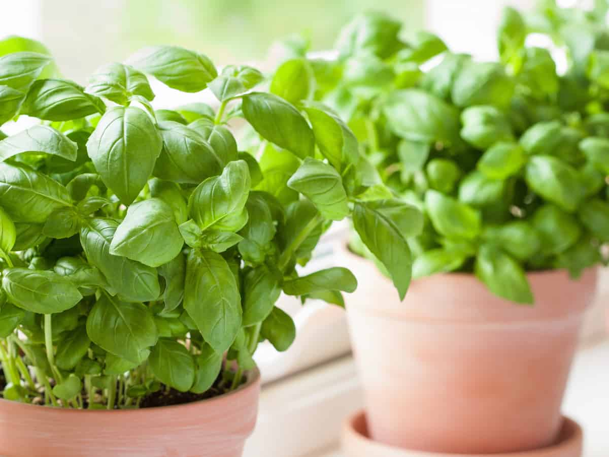herbs do well on the windowsill in pots with good drainage