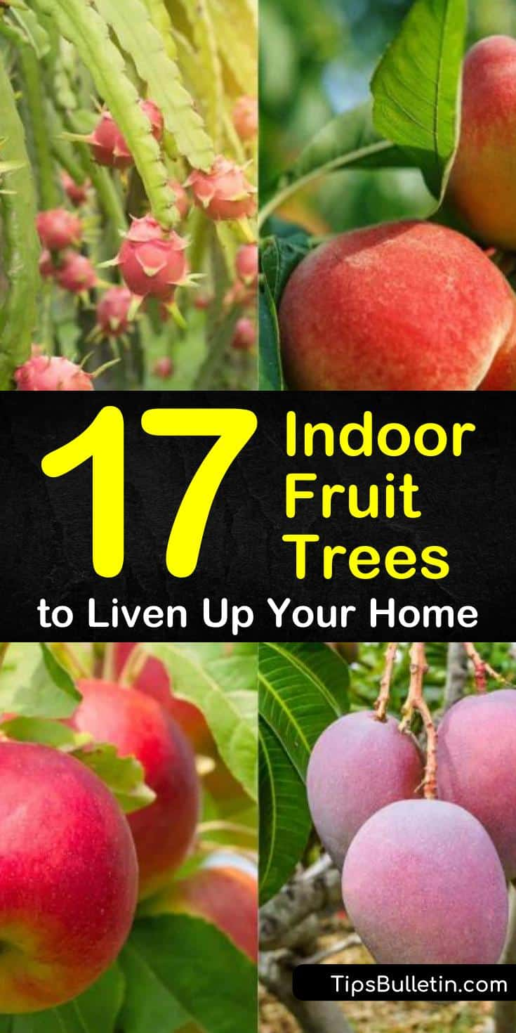 Indoor fruit trees offer the best of both worlds - you can grow the fruits you want in a contained environment and you can harvest crops all year! Most indoor fruit trees require at least some sunlight and a big enough pot to hold the roots. #indoorfruittree #growfruitindoors