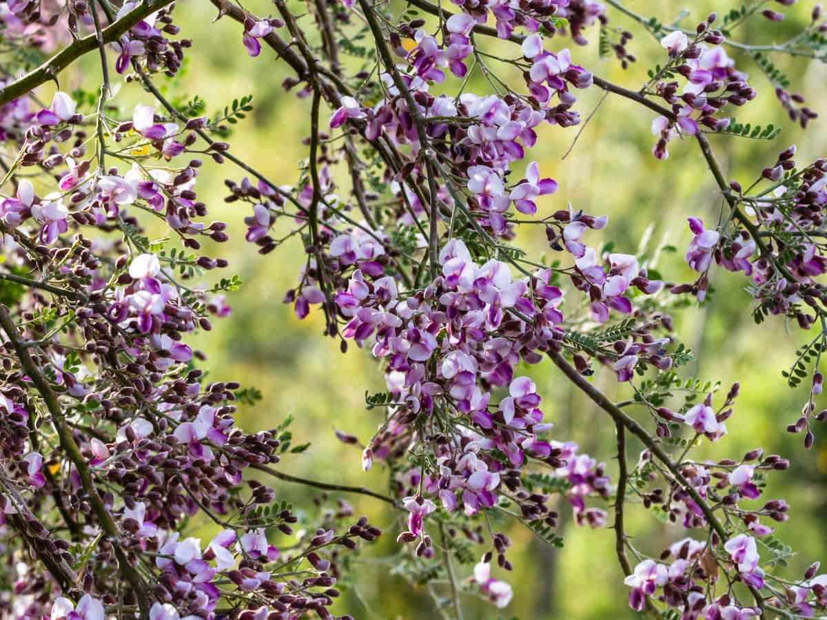 plant the ironwood in a little shade for it to do well