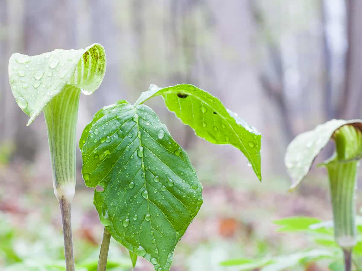 Jack-in-the-pulpit is a shade loving plant that likes swamps and marshes