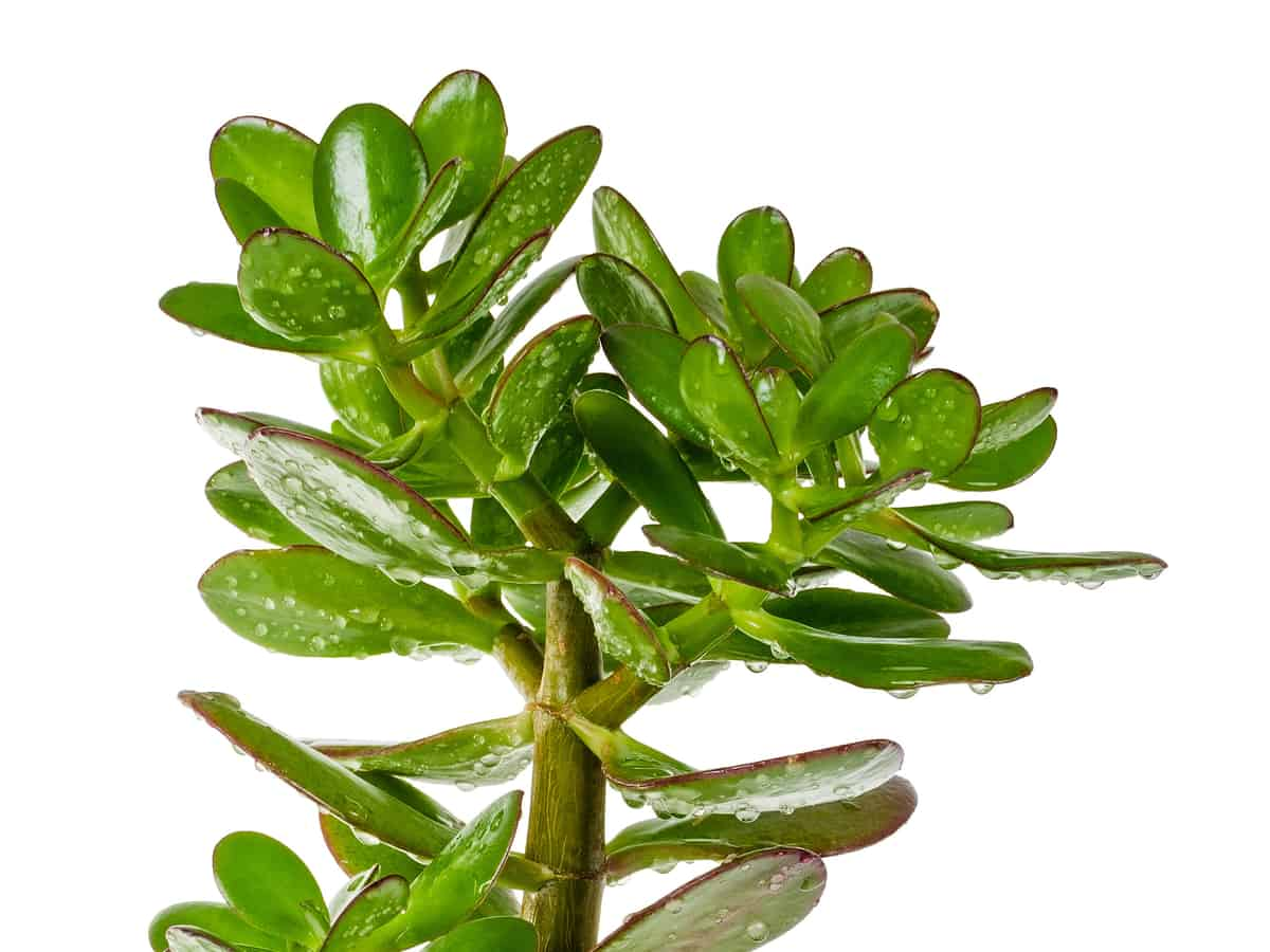the jade plant is easy-to-care-for if you keep the soil moist