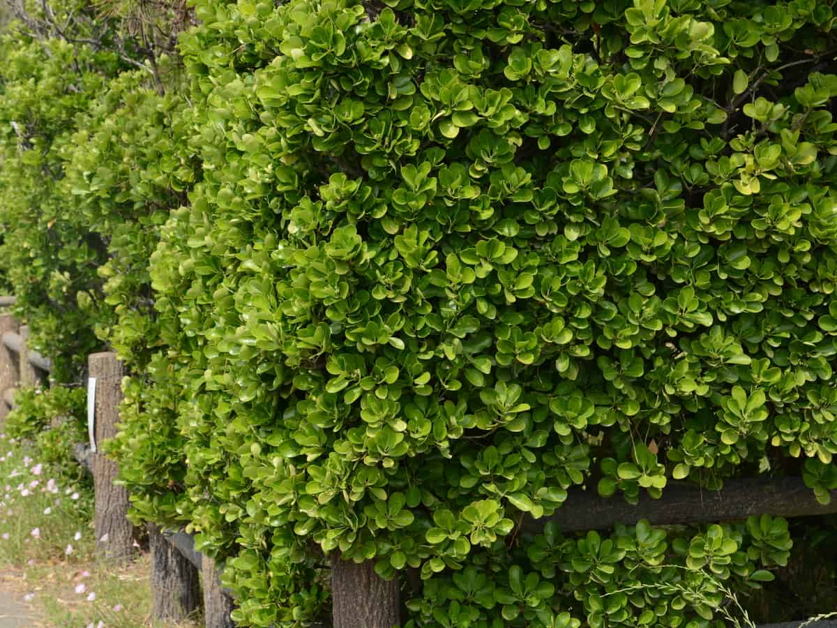 the Japanese euonymus is an oval evergreen shrub