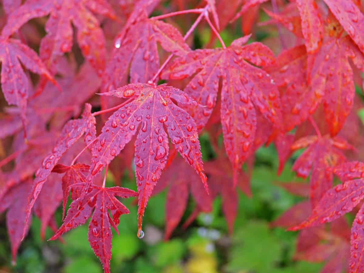 Japanese maple is a sturdy small tree with spectacular color
